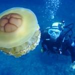 Méduse œuf au plat