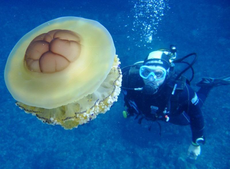 la méduse œuf au plat