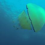 Sur la vie de ma mer ! La Méduse rhizostome
